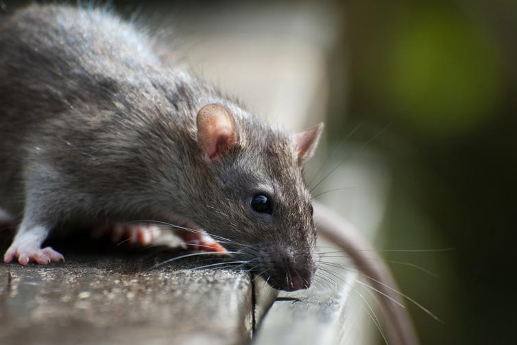 rodent-pest-control-service