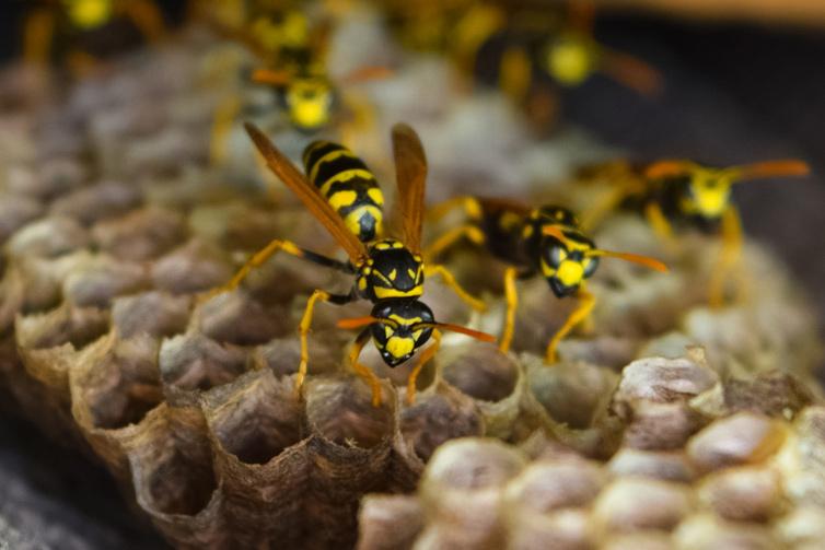 wasp-hornet-pest-control-service